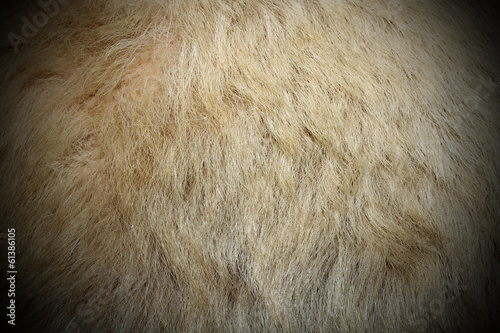 polar bear white fur