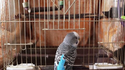 Household pet, blue budgerigar enters the small birdcage