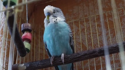 Blue budgerigar sitting in the cage and pulls its wings
