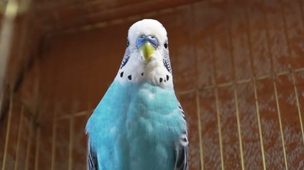 Blue budgerigar sitting in a cage for birds and turning his head