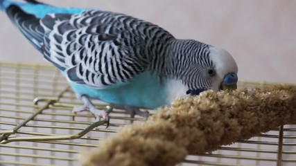 Household pet, blue budgerigar eating grain millet branch