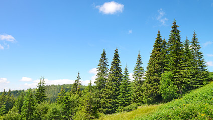 Beautiful pine trees in mountains