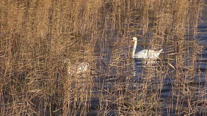two white swans in autumn reeds on lake