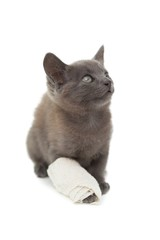 Cute grey kitten with a bandage on its paw