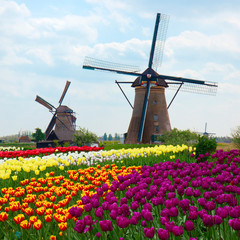 two dutch windmills over tulips field