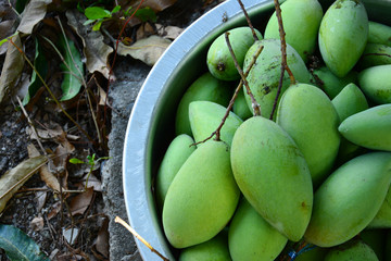 green mangoes in stell basin