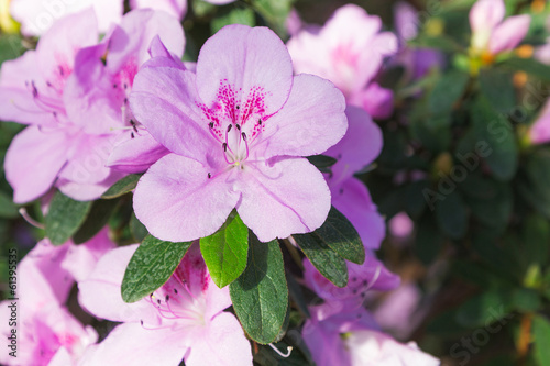 Azalea blooming pink flowers
