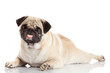 pug dog with a huge smile isolated on a white background. dog wi
