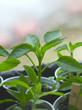 paprika seedling