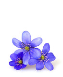 hepatica nobilis isolated on white background