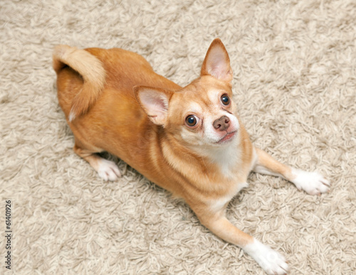 Chihuahua hua dog sits on the carpet