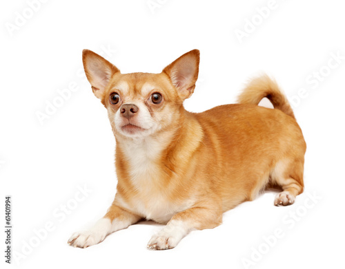 Chihuahua hua dog, isolated on a white background