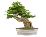 Bonsai tree in a pot  at the white background