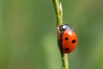 Siebenpunkt-Marienkäfer auf einer Ähre / ladybug on an ear
