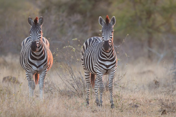Two zebra standing in grass at sunset with sinlight from the sid