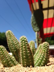 cactus in cafe