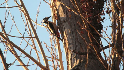 Great Spotted Woodpecker perched on a tree