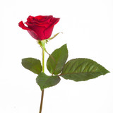 red rose on a stem with leaves