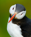 Puffin portrait with green background