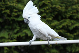 white bird parrot cockatoo