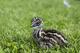 Young Emu Chick Looking Cute in Grass