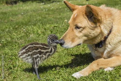 Young Emu Chick with Cute Dog Together