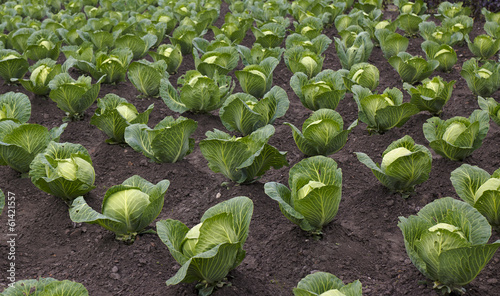 beds with cabbage