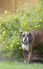 Big Daddy Brindle Boxer Dog in Flowers