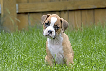 Curious Tan and White Boxer Puppy