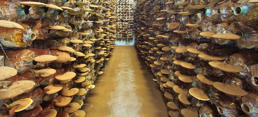 Ganoderma lucidum at the mushroom farm