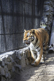 Beautiful Siberian tiger in a cage.