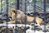 Beautiful lion with open mouth in the aviary. poster
