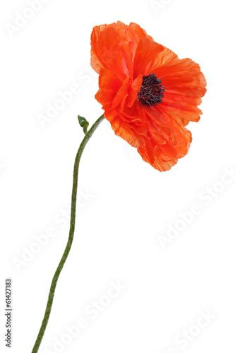 Staande foto Poppy Single poppy isolated on white background.