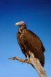 Lappetfaced Vulture against blue sky