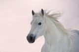 White Arabian horse runs on sunset background
