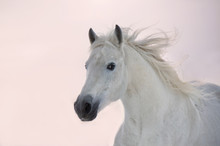 Cheval arabe blanc court sur fond coucher de soleil