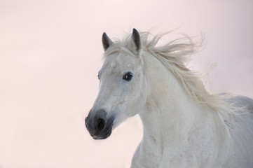 White Arabian horse runs on sunset background