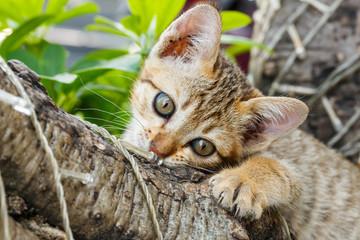 thai small kitten