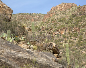 Cacti in Sabino Canyon