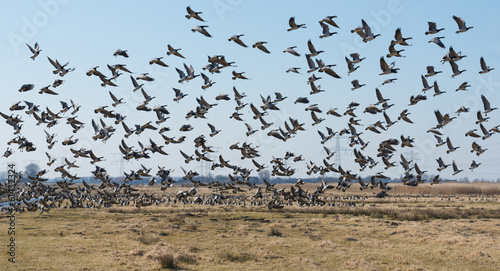 Barnacle geese flying away in a Dutch polder landscape