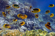 School of fish: Red Sea Raccoon Butterflyfish on coral reef