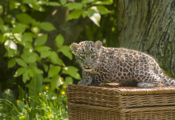 Small Persian leopard