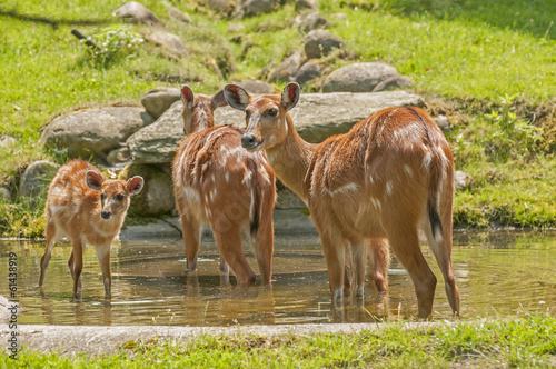 Poster Antilope Sitatunga