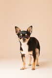 Chihuahua on beige background