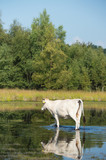 Nature landscape with cows in water