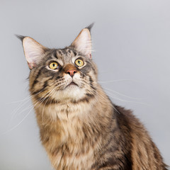 Maine coon cat on gray