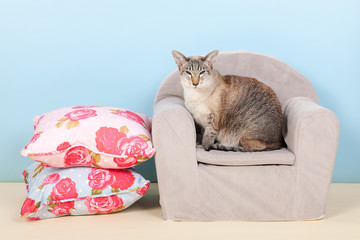Siamese cat in chair