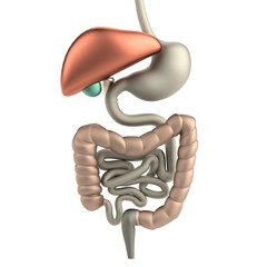 realistic 3d render of digestive system
