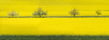 Panorama of rape field with blooming orchard trees