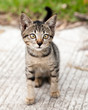 Cross-eyed Tabby Kitten on the Road